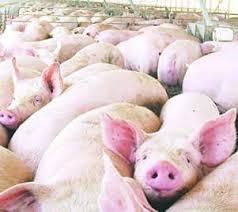 ¿Sueñan las ovejas con COVID-19? Ganadería intensiva y las nuevas pandemias